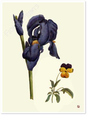 iris-viola-pensiero-shadow.jpg