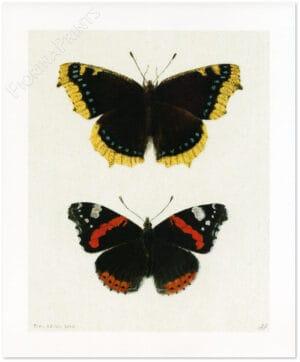 nymphalis-antiopa-e-atalanta-shadow.jpg