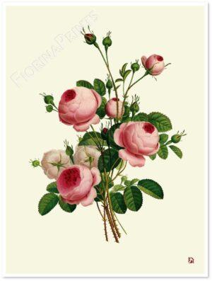 rosa-centifolia-shadow.jpg