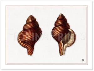 seashell-3-shadow.jpg