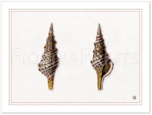 seashell-4-shadow.jpg