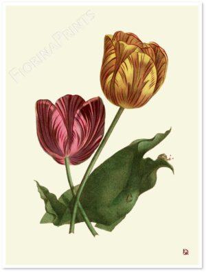 tulipani-shadow.jpg